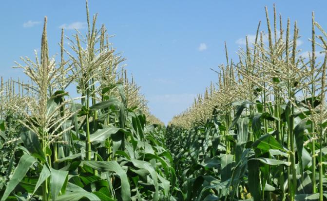corn field - hila.png