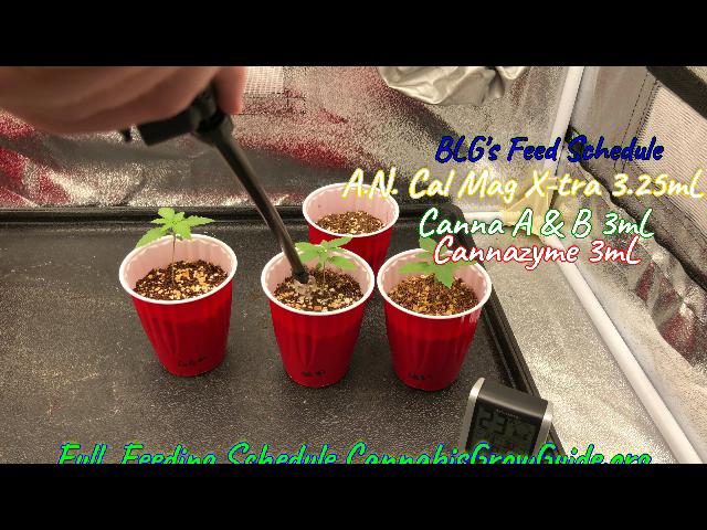 Day 11 Cannabis Seedling