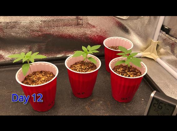 Day 12 Cannabis Seedling