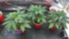 day 28 transplant and topping how to.png