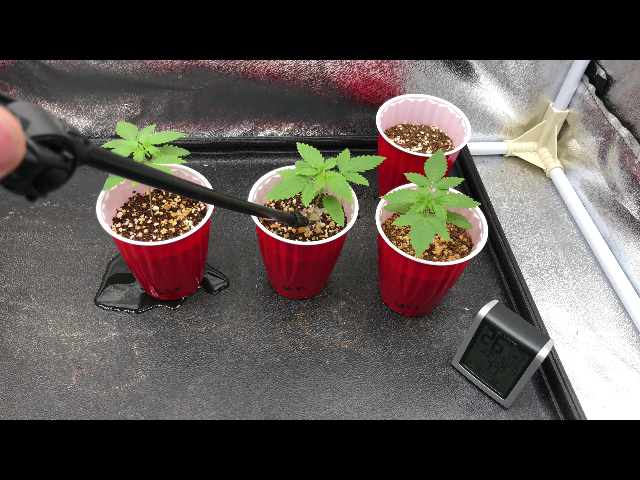 Day 14 Cannabis Seedling