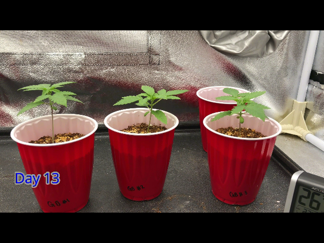 Day 13 Cannabis Seedling