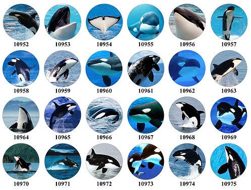 Orcas 10952-10975