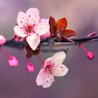 Magnolia Cherry