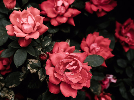 The healing power of roses