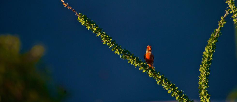 Red AZ Bird DSC_1503.jpg