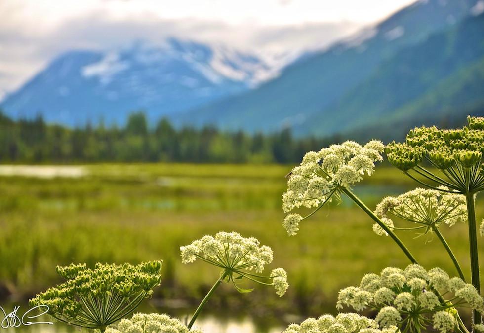 Alaska Wild Flower - DSC_0299.jpg
