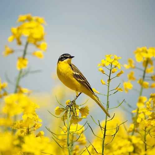 Желтая птица на фоне желтых цветов