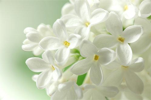 Белые цветы сирени крупным планом