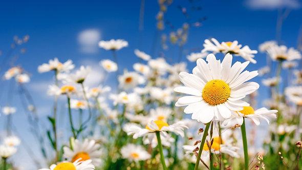 Белые ромашки крупным планом на фоне голубого неба