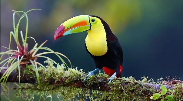 Тукан на ветке. Коста-Рика