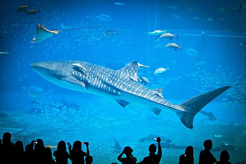 Китовая акула в аквариуме Окинавы