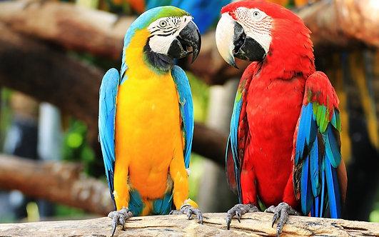 Красочная пара попугаев крупным планом