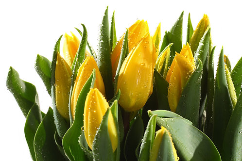 Желтые тюльпаны с каплями воды на белом фоне