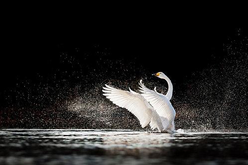 Белый лебедь, взмахивающий крыльями с брызгами воды