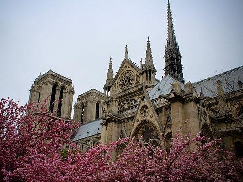 Собор Парижской Богоматери с красивыми цветами сакуры