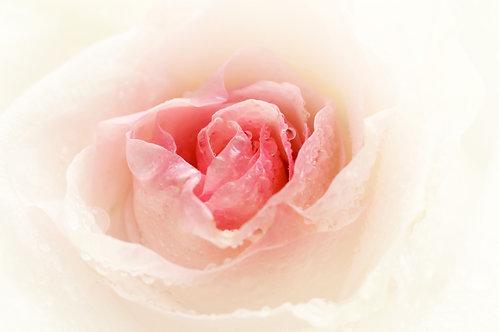 Бутон розы крупным планом с каплями воды на лепестках