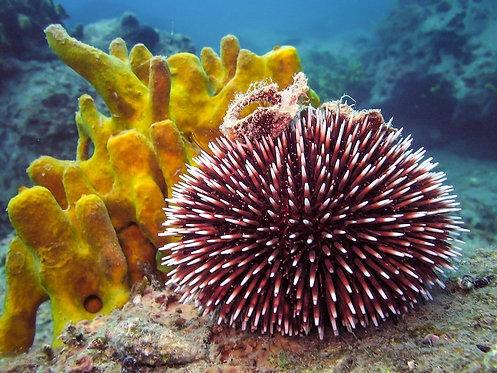 Фиолетовый морской еж в естественной среде обитания с желтым кораллом