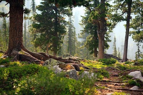 Фотообои. Фрески. Картины. Таежные деревья. Хвойный лес. Природный парк Ергаки