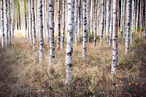 Березовый лес и сухая трава в начале осени