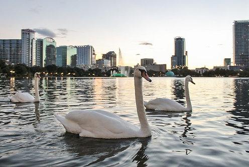Белые лебеди на озере на фоне города
