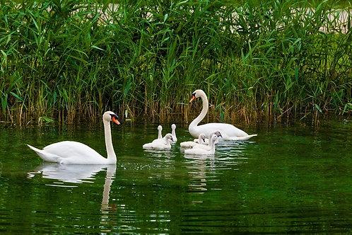 Белые лебеди с птенцами плавают у камышей