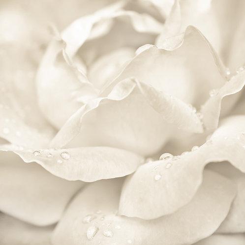 Белый цветок розы крупным планом с каплями воды
