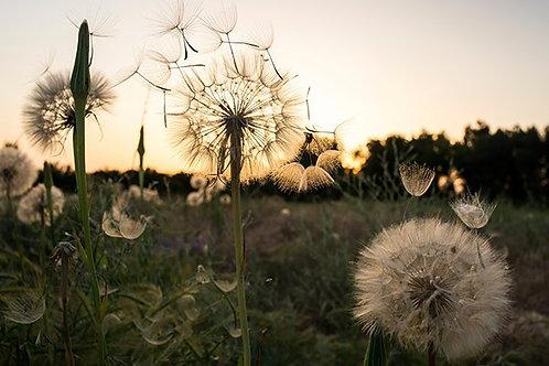 Одуванчики с разлетающимися семенами на лугу во время заката