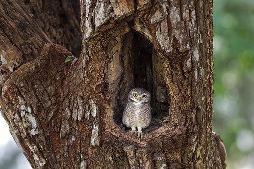 Маленькая сова в дупле дерева
