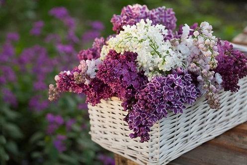 Белые и фиолетовые цветы сирени в корзине