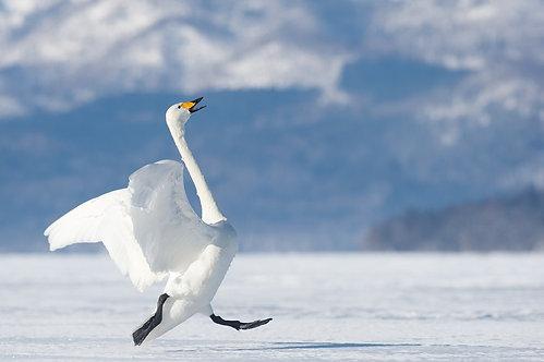 Белый лебедь готовый к взлету
