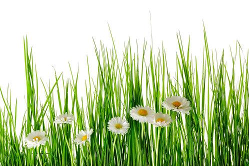 Ромашки в высокой зеленой траве на белом фоне