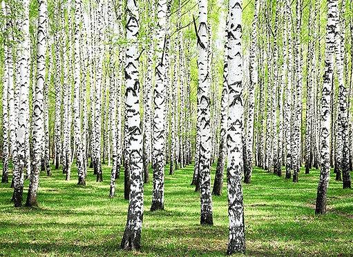 Весенняя зелень в берёзовой роще