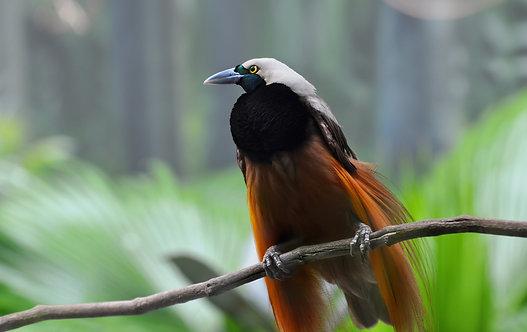 Большая райская птица Новой Гвинеи и Индонезии