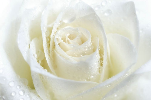 Белая роза крупным планом с каплями воды