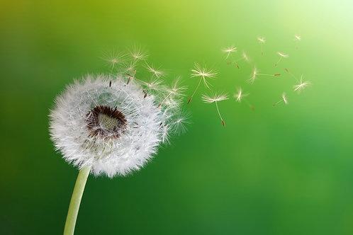 Одуванчик с разлетающимися семенами на зеленом фоне