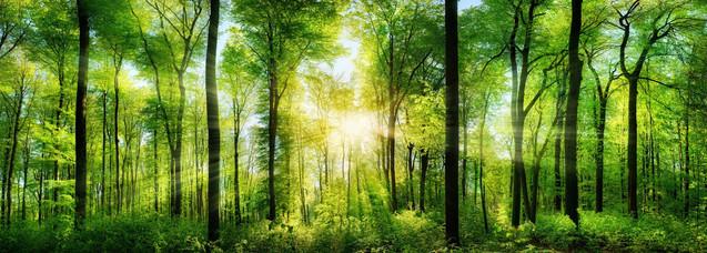 Панорамный вид живописного леса и свежих зеленых лиственных деревьев в солнечных лучах света | #276530603