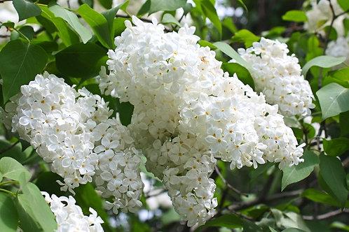 Цветущие гроздья белой сирени крупным планом
