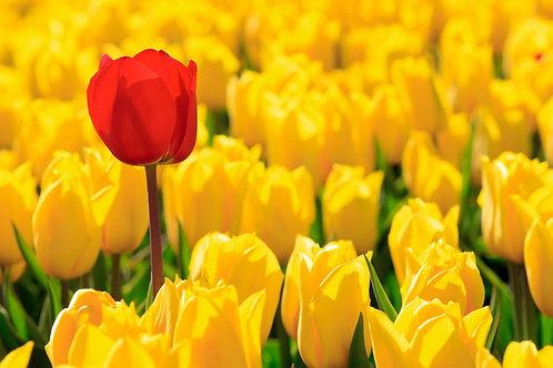 Желтые и один красный тюльпаны