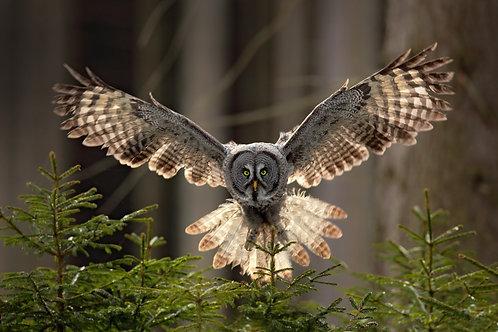 Большая серая сова в еловом лесу