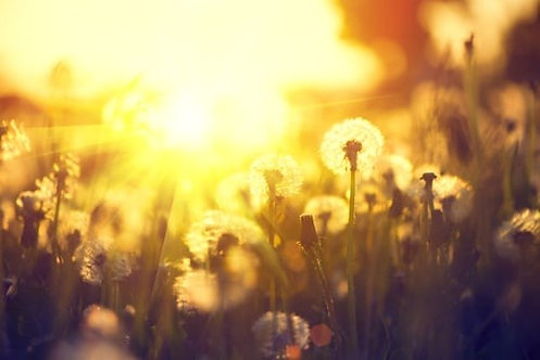 Весеннее поле одуванчиков на фоне заката
