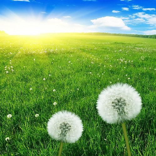 Белые одуванчики на фоне зеленого поля и голубого неба
