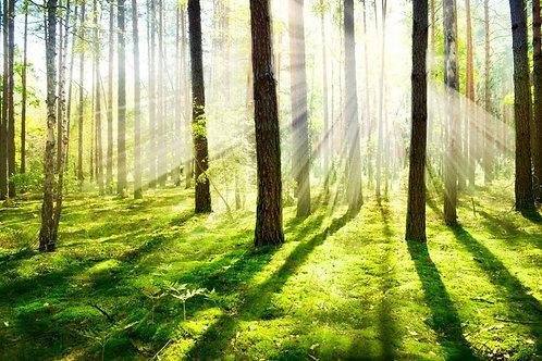 Живописный лес в рассеивающихся лучах утреннего солнца