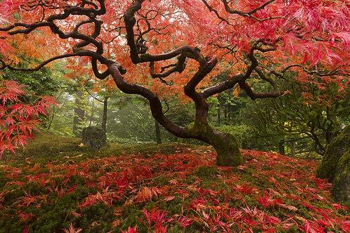 Фотообои. Фрески. Картины. Дерево. Красный клен. Осенний листопад. Японский сад