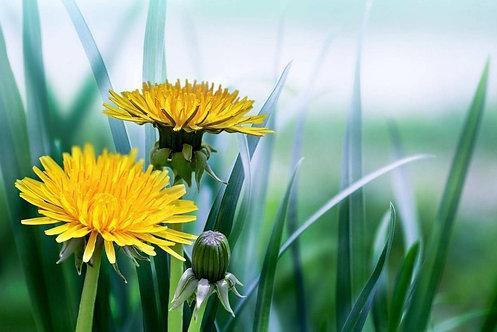 Желтые одуванчики в траве на размытом зеленом фоне
