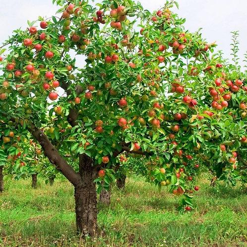 Фотообои. Фрески. Картины. Яблоки на ветке. Яблоневый сад. Природа и пейзажи