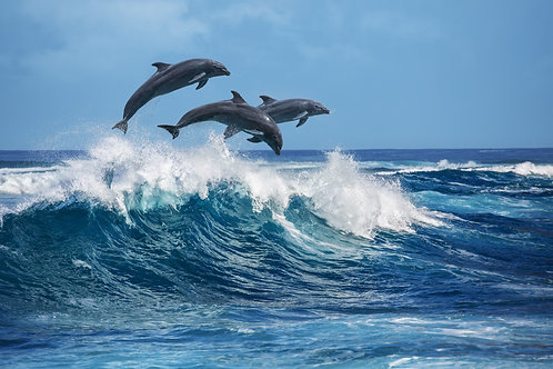 Три красивых дельфина выпрыгивают из волн Тихого океана - Гавайи