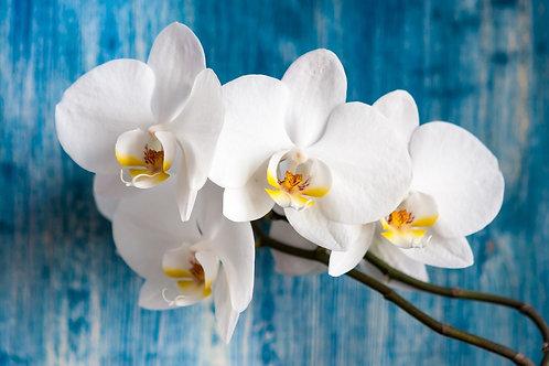 Белые цветы орхидеи на сине-голубом фоне