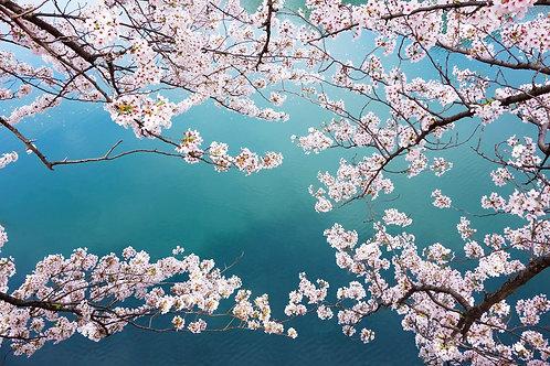 Ветки с розовыми цветами сакуры