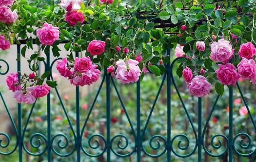 Фотообои. Фрески. Картины. Розы. Капли росы. Кованый забор. Летний сад. Природа